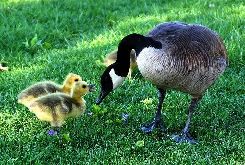 Canada-Goose-Mom