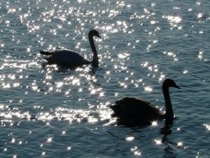 swan-10410_640