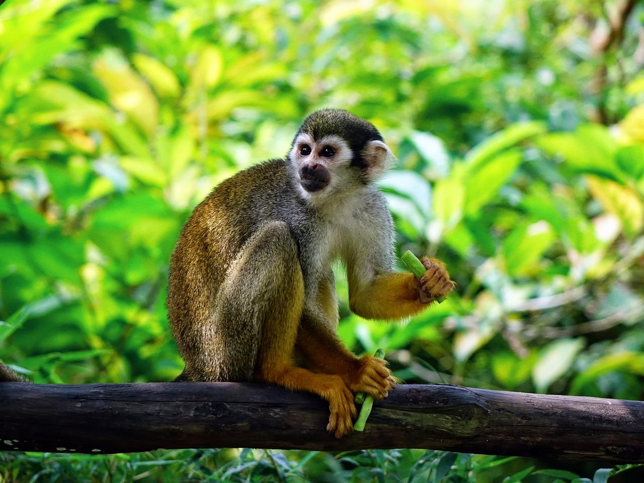 squirrel-monkey-505191_1280